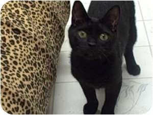 """Bombay Cat for adoption in Moses Lake, Washington - """"Shady"""" Brady"""