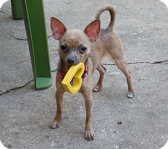 Chihuahua Puppy for adoption in Ormond Beach, Florida - Buster