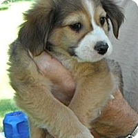 Adopt A Pet :: Simon-pending - Glastonbury, CT