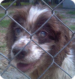 Cocker Spaniel Dog for adoption in Orange Lake, Florida - Emma