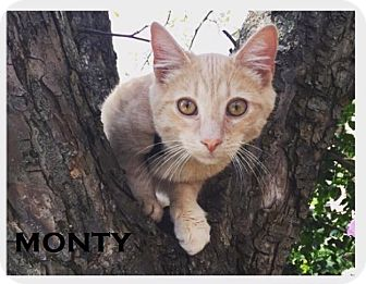 Domestic Shorthair Cat for adoption in Speedway, Indiana - Monty