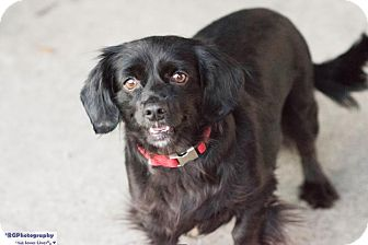 Spaniel (Unknown Type) Mix Dog for adoption in Fort Atkinson, Wisconsin - Itchy Azalea