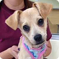 Adopt A Pet :: Daphne - Studio City, CA