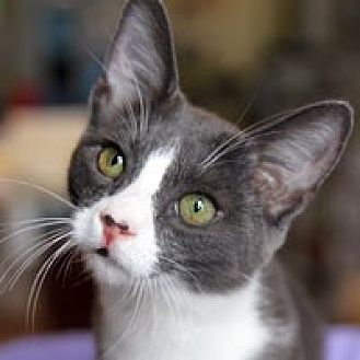 Domestic Shorthair Cat for adoption in Pacific Grove, California - Andy