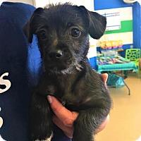 Adopt A Pet :: Gucci - Chino Hills - Chino Hills, CA