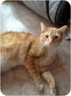 Domestic Shorthair Cat for adoption in Mobile, Alabama - Elvis