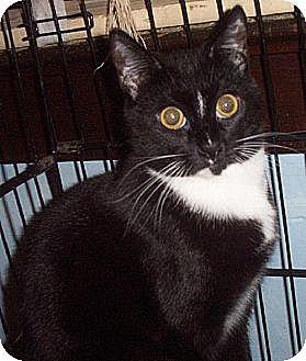 Domestic Shorthair Cat for adoption in Lindenhurst, New York - Dash