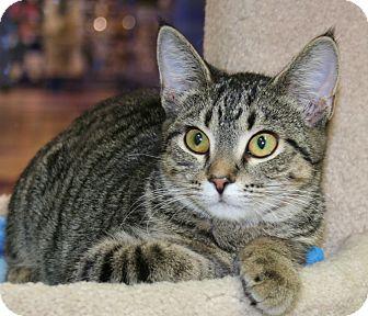 Domestic Shorthair Kitten for adoption in Edmonton, Alberta - Carmen