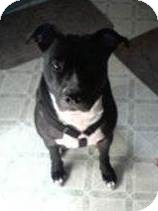 American Staffordshire Terrier/American Pit Bull Terrier Mix Dog for adoption in North Olmsted, Ohio - Mase-Courtesy Post