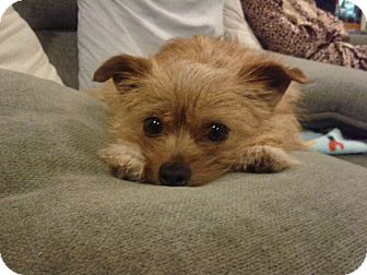 Pomeranian/Terrier (Unknown Type, Small) Mix Dog for adoption in Homewood, Alabama - Phoenix