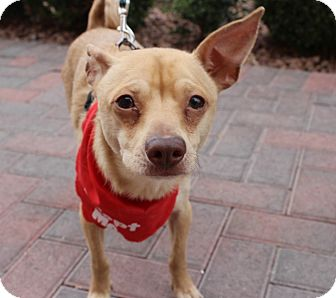 Chihuahua/Shiba Inu Mix Dog for adoption in Las Vegas, Nevada - TOBY