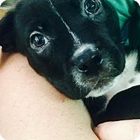 Adopt A Pet :: Smoke - Miami, FL