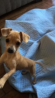 Chihuahua Puppy for adoption in Dana Point, California - Ella