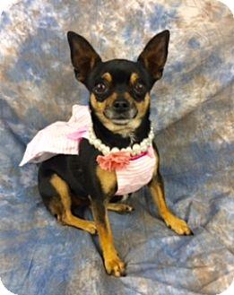 Chihuahua Mix Dog for adoption in Lake Elsinore, California - Wasabi