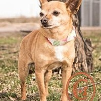 Adopt A Pet :: Nugget goes w/Tinkerbell - courtesy listing - Evergreen, CO