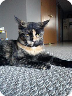 Domestic Shorthair Cat for adoption in Canal Winchester, Ohio - Mary Lincoln