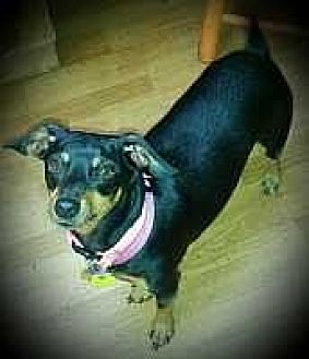 Miniature Pinscher Mix Dog for adoption in Columbus, Ohio - Minniehaha