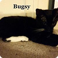 Adopt A Pet :: Bugsy - Bentonville, AR