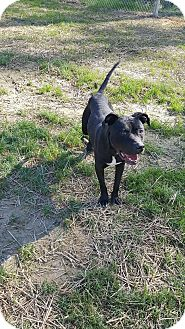 Pit Bull Terrier Mix Dog for adoption in Henderson, North Carolina - LoLo (HW Pos)*