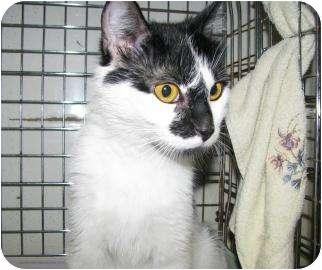Domestic Shorthair Cat for adoption in Gloucester, Massachusetts - Kate