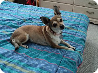Chihuahua Mix Dog for adoption in Studio City, California - Tammy