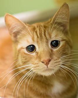 Domestic Shorthair Cat for adoption in Auburn, California - Otto