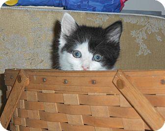 Domestic Mediumhair Kitten for adoption in Carlisle, Pennsylvania - Webster