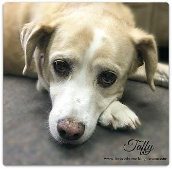 Beagle Mix Dog for adoption in Pascagoula, Mississippi - Taffy