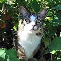 Domestic Mediumhair Cat for adoption in Santa Monica, California - Rocky