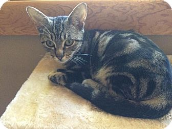 Domestic Shorthair Kitten for adoption in Hazlet, New Jersey - Marla