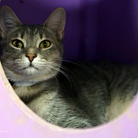 Domestic Shorthair Cat for adoption in Tucson, Arizona - Pigeon