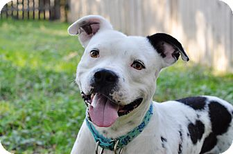 Pit Bull Terrier/American Staffordshire Terrier Mix Dog for adoption in College Station, Texas - Fitzgeral