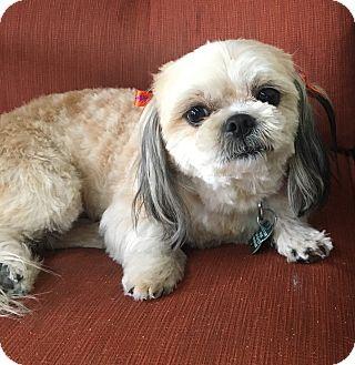Shih Tzu Mix Dog for adoption in La Verne, California - Priscilla