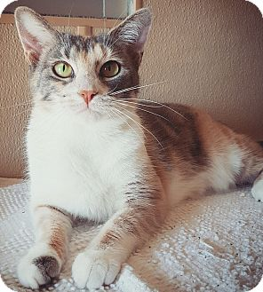 Calico Cat for adoption in Fredericksburg, Texas - Nara