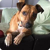 Adopt A Pet :: Samantha - Irving, TX