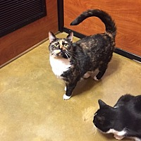 Domestic Shorthair Cat for adoption in Cranford/Rartian, New Jersey - Gidget