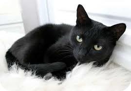 Domestic Shorthair Cat for adoption in Lancaster, Massachusetts - JJ