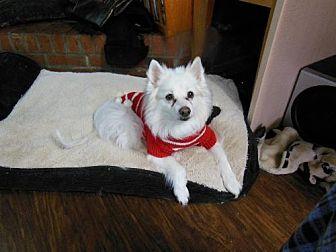American Eskimo Dog Dog for adoption in St. Thomas, Pennsylvania - Candy of PA