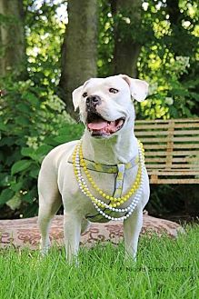 American Bulldog Mix Dog for adoption in Whites Creek, Tennessee - Schoopy