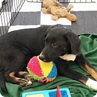 Adopt A Pet :: Marley - Phoenix, AZ