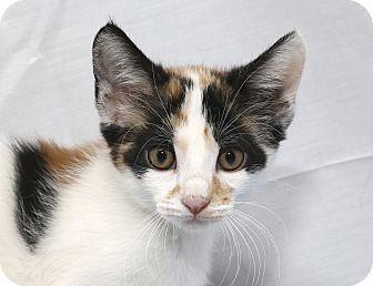 Calico Kitten for adoption in Yorba Linda, California - Jess