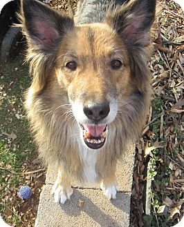 German Shepherd Dog/Sheltie, Shetland Sheepdog Mix Dog for adoption in Charlottesville, Virginia - Bridget
