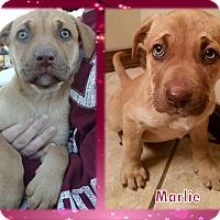 Adopt A Pet :: Marlie - Ringwood, NJ