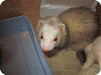 Ferret for adoption in South Hadley, Massachusetts - Fred