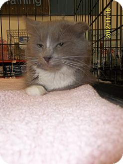 Domestic Shorthair Cat for adoption in Riverside, Rhode Island - Charlotte