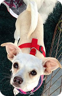 Chihuahua Mix Dog for adoption in San Diego, California - Nellie