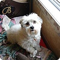 Adopt A Pet :: Tiger - Vaudreuil-Dorion, QC