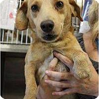 Adopt A Pet :: Beau - Arlington, TX