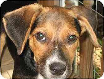 Beagle Mix Puppy for adoption in Old Fort, North Carolina - Possum