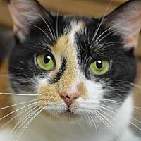 Domestic Shorthair Cat for adoption in Atlanta, Georgia - Cha Cha 13401